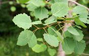 Целебные свойства осины, лемонграсса и гречки