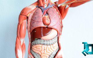 Функции и особенности строения внутренних органов человека