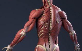Виды и типы мышечных волокон