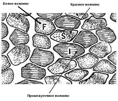 типы мышечных волокон, виды мышечных волокон