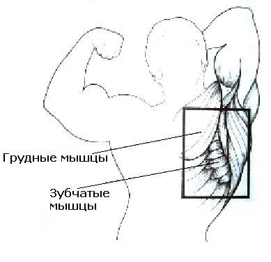 мышц-разгибателей