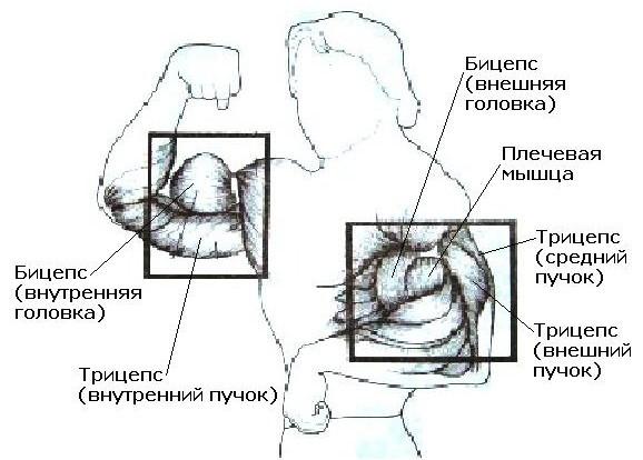 Главные упражнения: жим штанги